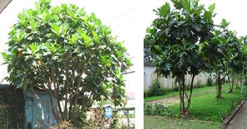 Kỹ thuật trồng và chăm sóc cây Sa Kê
