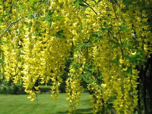 hoa osaka vang 2 Cây Osaka Vàng
