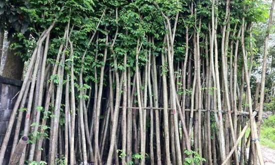 Kỹ thuật trồng và chăm sóc Cây Giáng Hương
