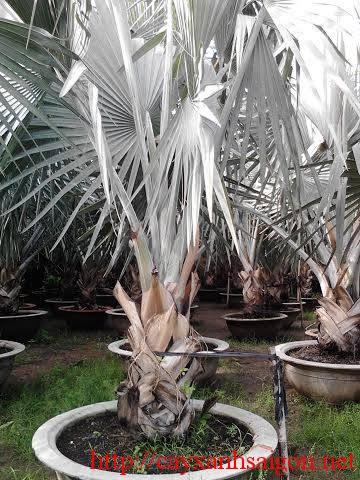 Cây Kè Bạc tại vườn
