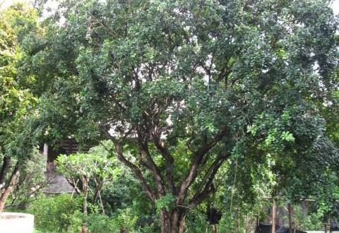 Kỹ thuật trồng và chăm sóc Cây Nguyệt Quế