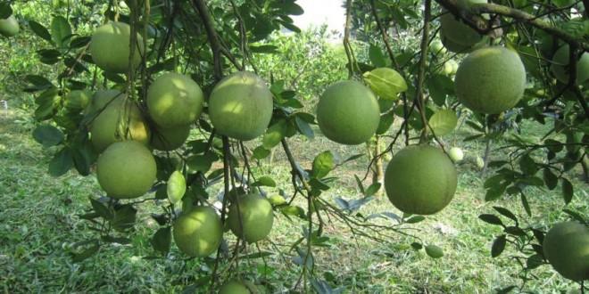 Kỹ thuật trồng và chăm sóc Cây Bưởi tốt nhất