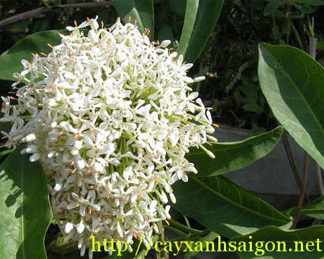 Bông trang hoa trắng