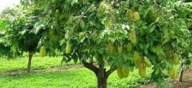 Kỹ thuật trồng và chăm sóc Cây Khế