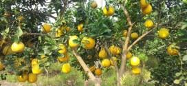 Kỹ thuật trồng và Chăm sóc Cây Bưởi Diễn