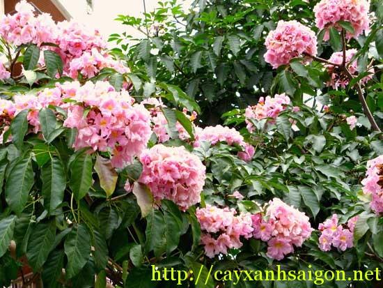 Hoa Kèn Hồng