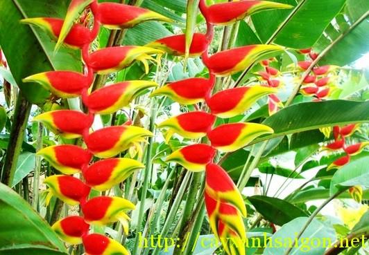 Hoa Chuối Pháo