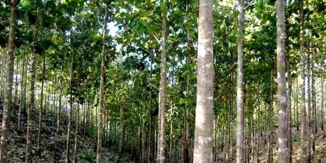 Kỹ thuật trồng và chăm sóc Cây Gỗ Tếch