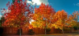 Kỹ thuật trồng và chăm sóc cây Phong Lá Đỏ