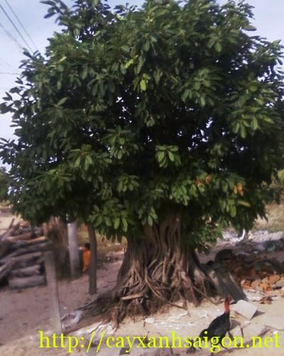 cây sộp